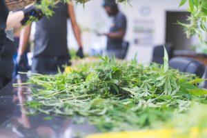 crop of cannabis plants
