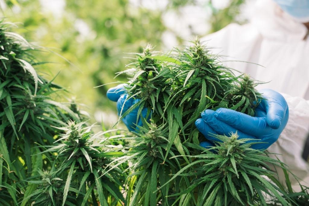 Marijuana plants,Scientist checking hemp plants in the field,Alternative herbal medicine,Cannabis research concepts.